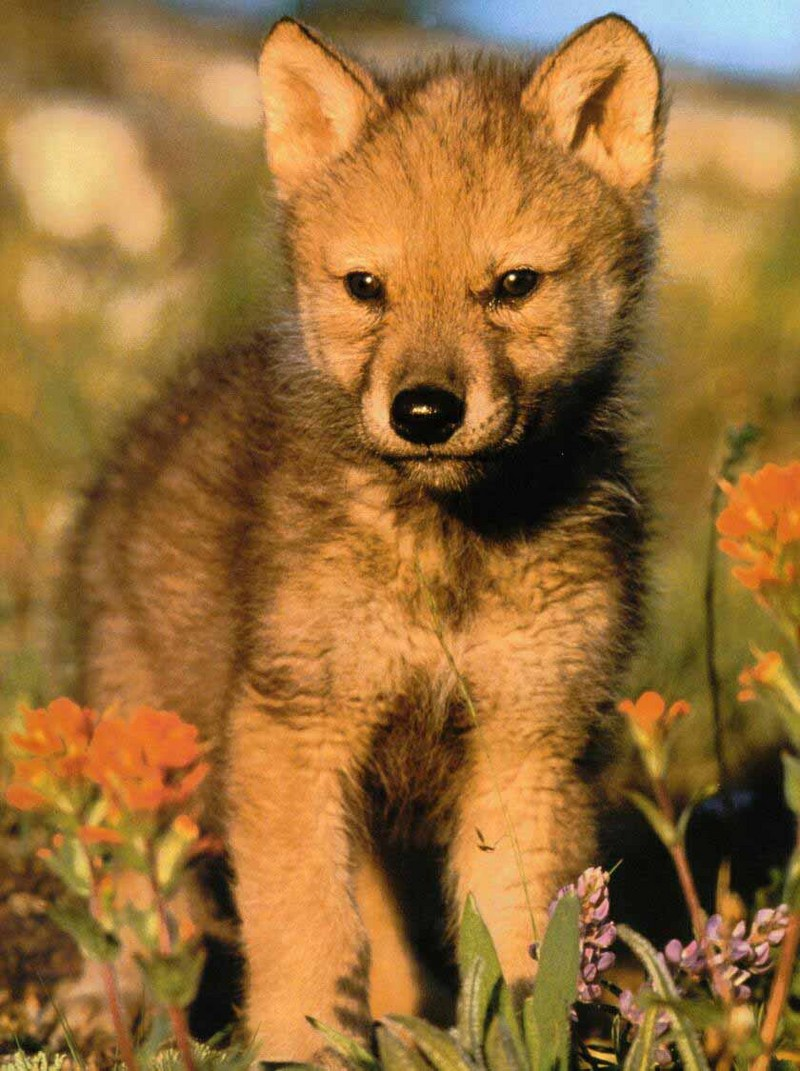 baby wolf | Zeller @ Ashe County Middle School